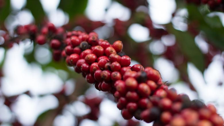 Exportações de café pelo Vietnã subiram 39,8% de janeiro a agosto